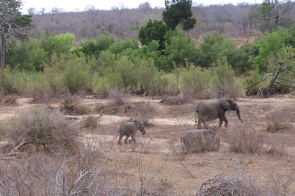 Afrikanischen Elefanten (Loxodonta)