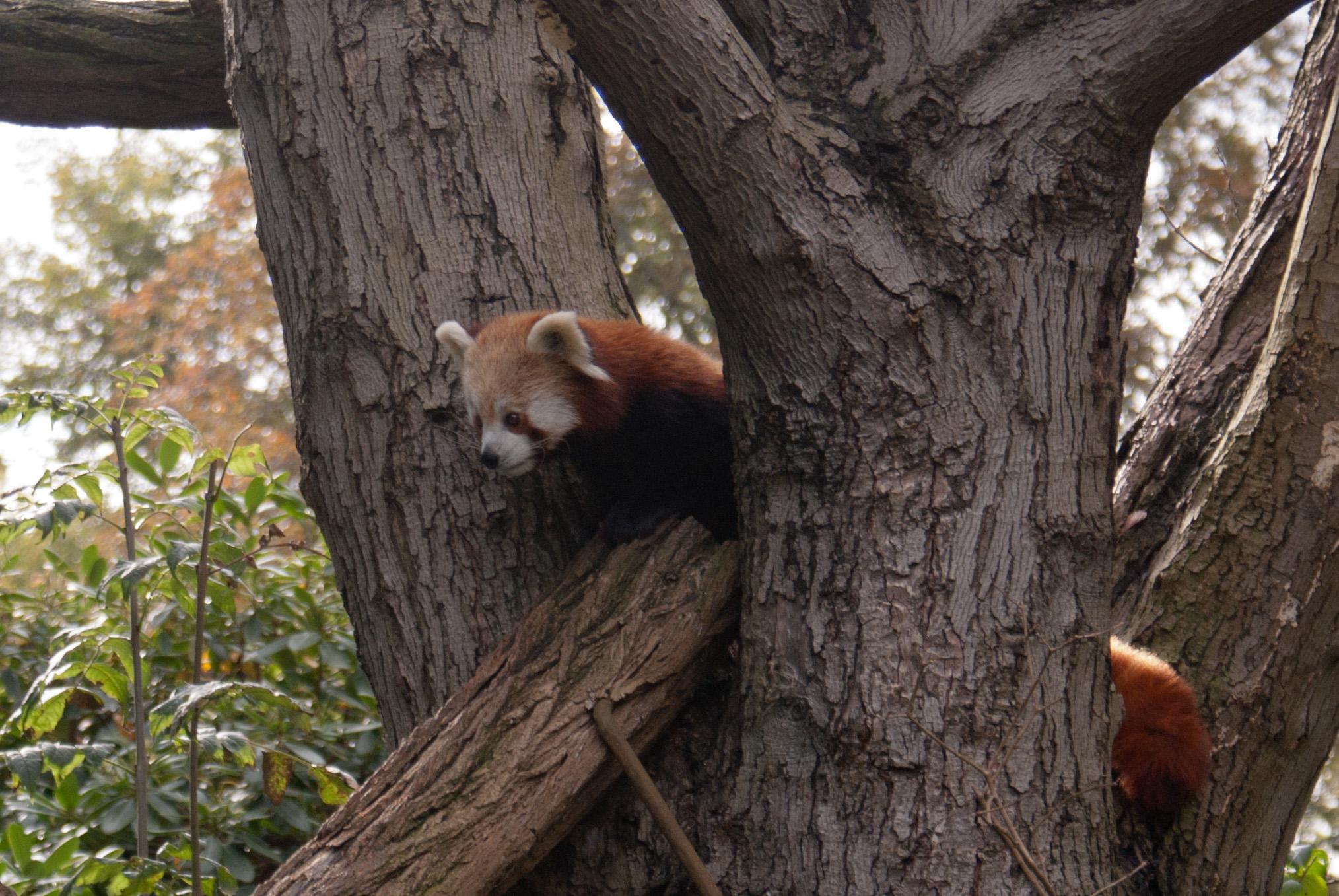 Roter Panda, Dresdner Zoo, Okt. 2011